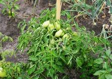 Bush com os tomates verdes verdes Imagem de Stock Royalty Free