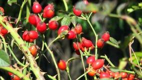 Bush com rosehips vermelhos vídeos de arquivo