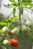 Bush com tomate Fotos de Stock