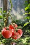 Bush com tomate Imagem de Stock