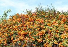 Bush of common sea buckthorn with ripe fruits. Hippophae rhamnoides.  stock photo