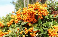 Bush of common sea buckthorn with ripe fruits. Hippophae rhamnoides. Macro picture.  stock photography