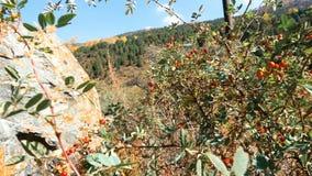 Bush con Autumn Berries en las montañas almacen de metraje de vídeo