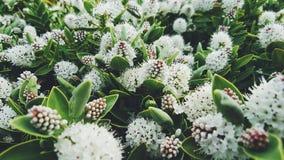 Bush con i fiori bianchi, Nuova Zelanda Fotografia Stock