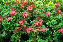Bush con i fiori rossi Fotografia Stock Libera da Diritti
