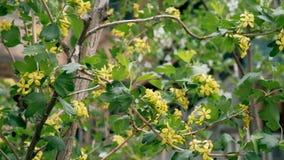Bush con i piccoli fiori gialli in metraggio di primavera stock footage