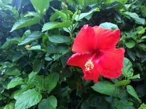Bush con il fiore rosso Fotografia Stock