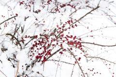 Bush con las bayas rojas debajo de la nieve Imágenes de archivo libres de regalías