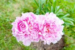 Bush con las flores rosadas hermosas de la peonía del minué fotos de archivo libres de regalías
