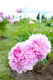 Bush con las flores rosadas hermosas de la peonía del minué imagen de archivo libre de regalías
