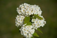 Bush con las pequeñas flores blancas en el fondo verde, Esmirna, turco Fotografía de archivo libre de regalías
