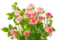 Bush con las rosas rosadas y los leafes verdes Foto de archivo libre de regalías