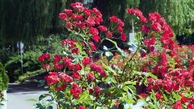 Bush cor-de-rosa vermelho no vento no parque velho da cidade Filmado pela lente cinemático vídeos de arquivo