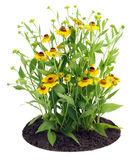Bush of Coreopsis flowers on bed Stock Images