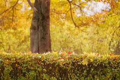 Bush covered with autumn maple leaves Royalty Free Stock Image