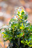 Bush covered with ice Stock Photo