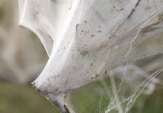 Bush covered in pest silk web. Bush totally covered in a net spun by pest caterpillars Orchard Ermine Yponomeuta padella Stock Images