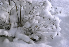 Bush covered with snow Royalty Free Stock Photo
