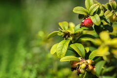 Bush cowberries with berries. Close-up Royalty Free Stock Photos