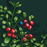 Bush cowberry. With leaves on a dark green background Stock Images