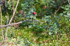 Bush cowberry in a forest Royalty Free Stock Photography