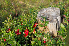 Bush of cranberries around the old stump in the forest Royalty Free Stock Image