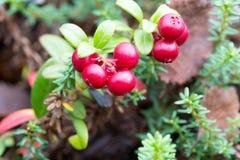Bush cranberries Royalty Free Stock Photo
