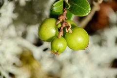 Bush cranberries Royalty Free Stock Images
