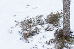 Bush cranberries in the snow. In Karelia Royalty Free Stock Photo