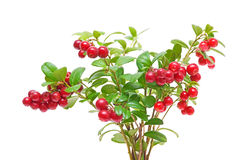 Bush cranberries on white background. Bush of ripe cranberries closeup on white background Stock Photography