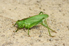 Bush-Cricket Stock Photos