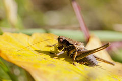 Bush cricket - autumnal leaf Stock Image