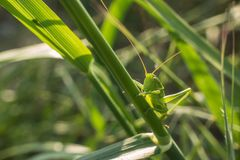 Bush Cricket in green grass meadow. A Bush Cricket, Tettigonia cantans, using his camouflage green colour to hide in the green grass of a Mediterranean meadow Royalty Free Stock Images