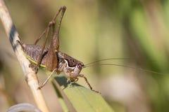 Bush cricket Royalty Free Stock Photo