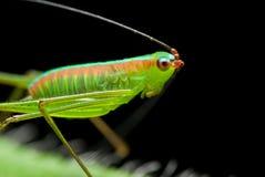 Bush Cricket/katydid Royalty Free Stock Photo