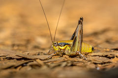 Bush Cricket Katydid Royalty Free Stock Photos