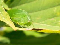 Bush cricket on a leaf Stock Photos