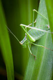 Bush Cricket on a leaf Stock Photos