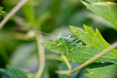 Bush-cricket (Leptophyes) Royalty Free Stock Photos