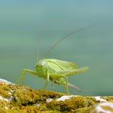 Bush-Cricket vert grand (viridissima de Tettigonia) Image stock