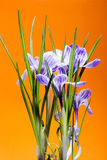 Bush of crocus on an orange Stock Image
