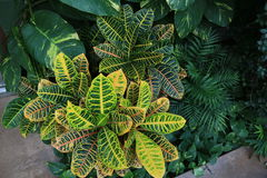 Bush of Crotons, Pothos and ornamental palm. Stock Photos