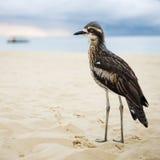 Bush curlew odpoczywa na plaży Zdjęcie Stock
