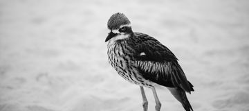 Bush curlew odpoczywa na plaży Obrazy Stock