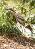 Bush Curlew ptak Australia Obrazy Royalty Free