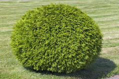 Bush of cypress, cut in form of a  sphere Stock Photos