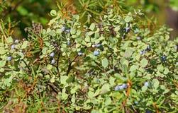 Bush czarna jagoda, Północny las Fotografia Royalty Free