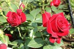 Bush czerwone róże Zdjęcia Royalty Free