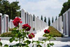 Bush czerwone róże między pamiątkowym cmentarzem, zamazany tło zdjęcia royalty free
