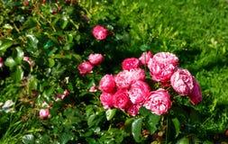 Bush czerwone róże w ogródzie Fotografia Stock